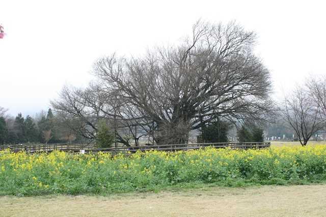 IMG_557樹齢400年と伝えられる「一心行の大桜」5-min.JPG